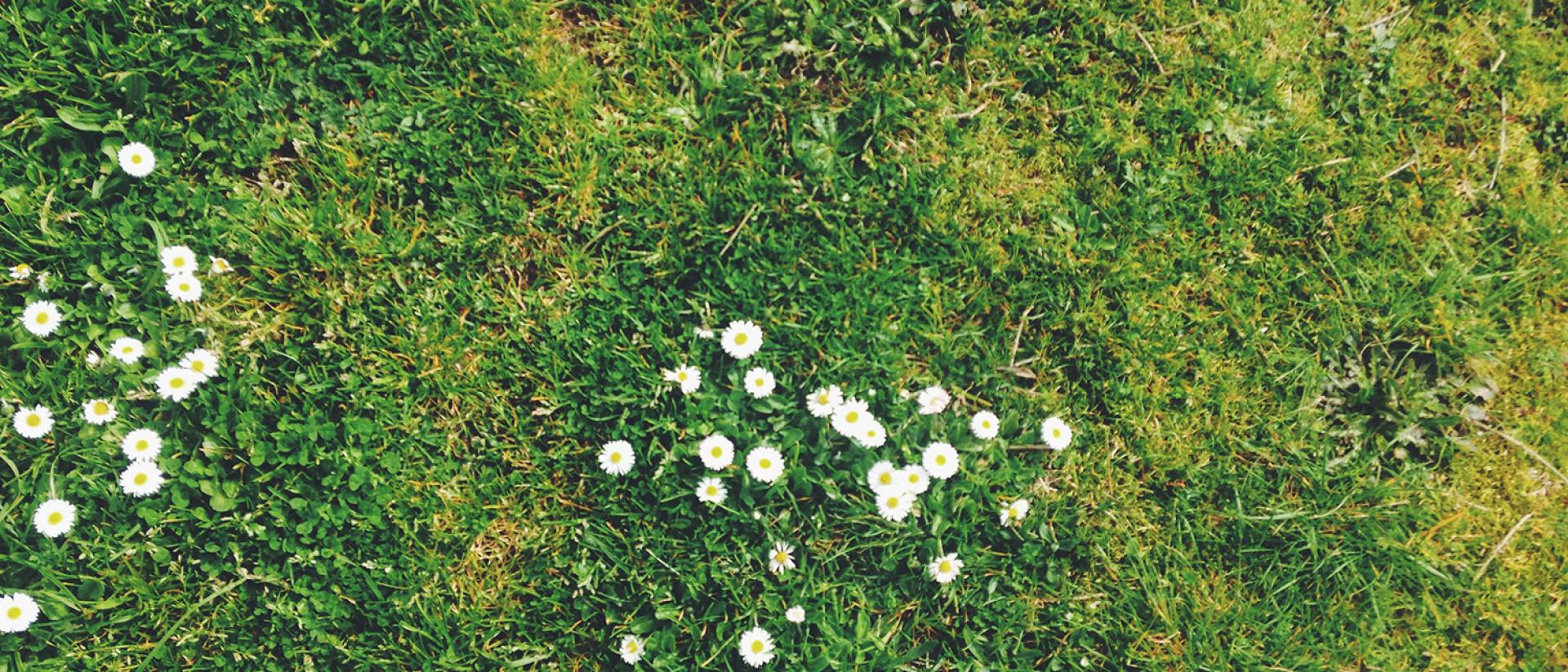 Image of grass with daisies.